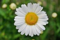 daisy200.jpg