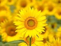 Sumflower1.jpg
